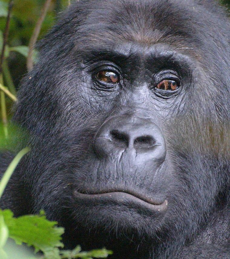 Mountain Gorilla Trekking Congo