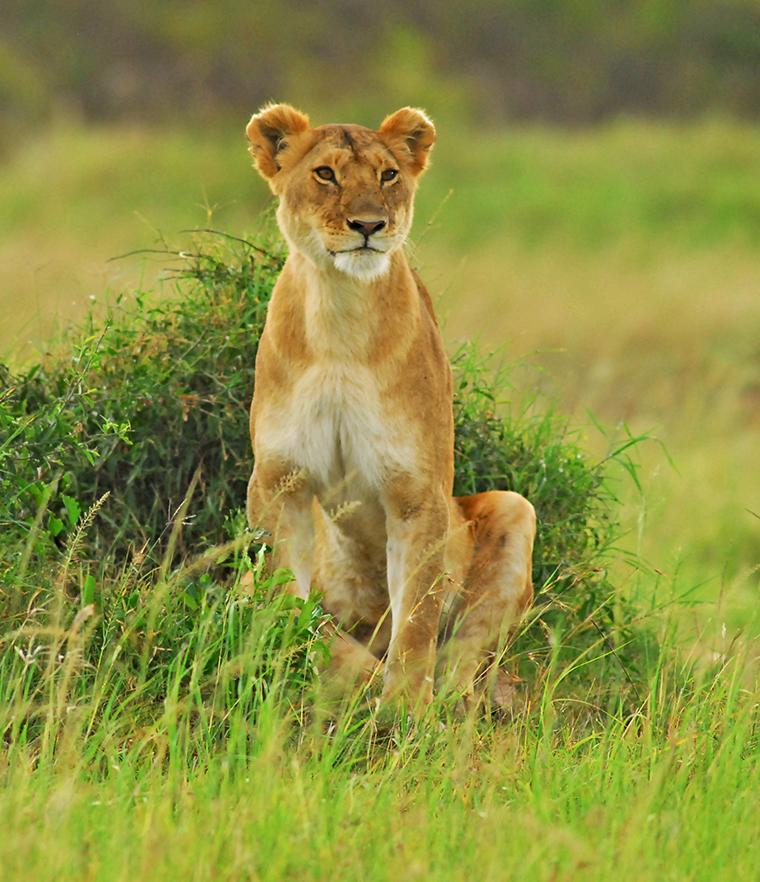 Masai Mara Kenya Safaris