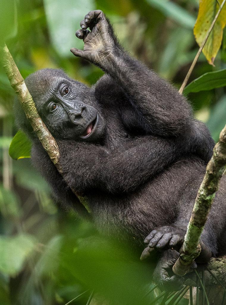 That Gorilla