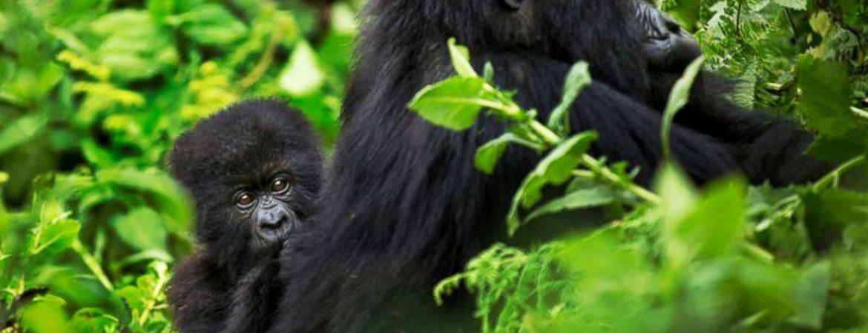 16 Days Uganda Chimps, Wildlife & Gorilla Tour