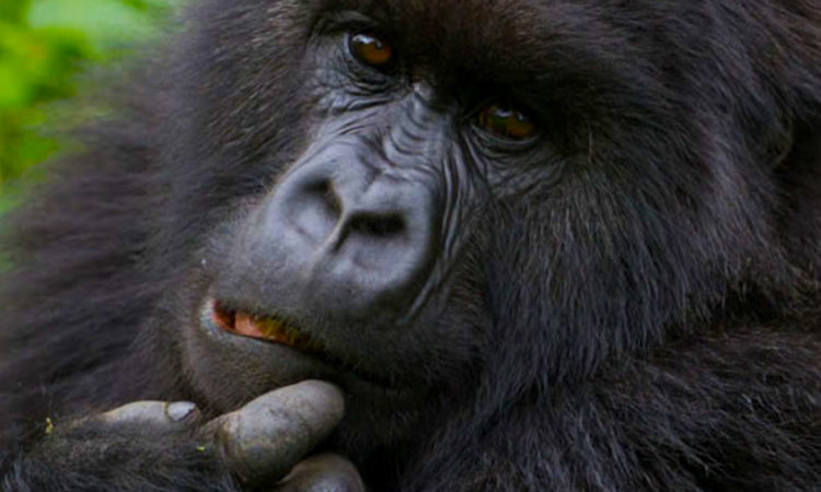 10 Days Triple Gorilla Trek & Nyiragongo Hike