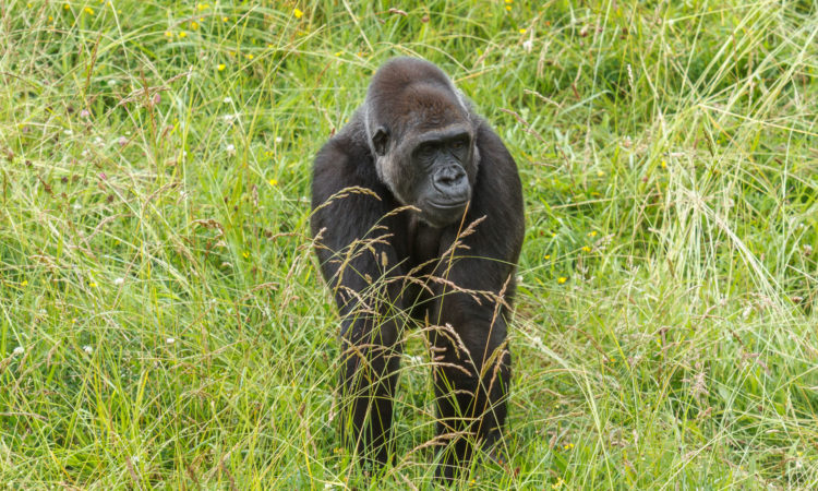 2 Days Kahuzi-Biega Lowland Tracking