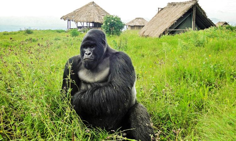 3 Days Virunga Gorilla Trekking Safari