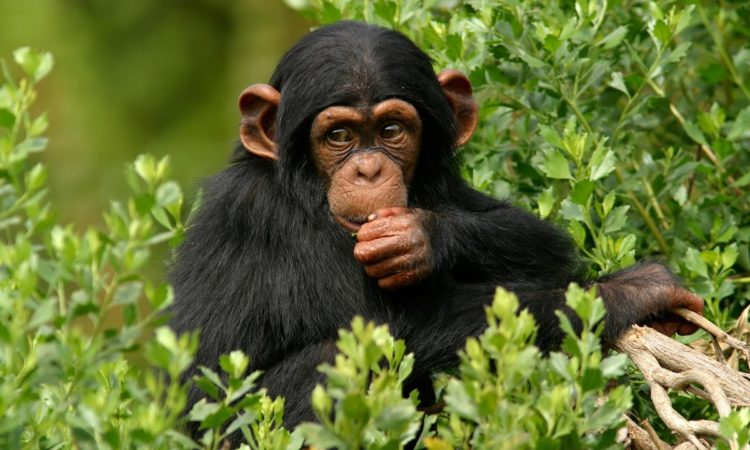 4 Days Bwindi Gorillas & Ngamba Chimp Trekking