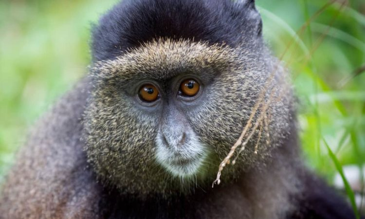 4 Days Mgahinga Gorillas, Culture & Golden Monkeys