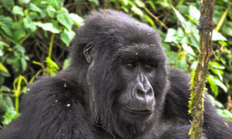 4 Days Uganda Gorillas & Golden Monkey Safari