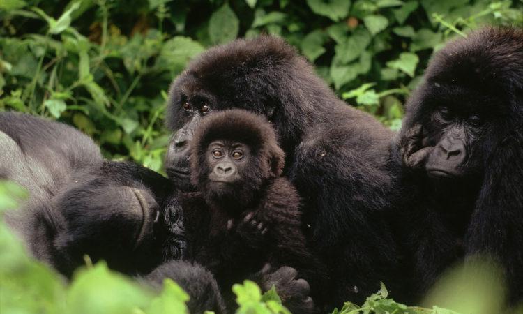 4 Days Virunga Gorillas & Lowland Gorilla Trekking
