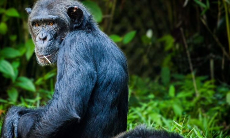 5 Days Uganda Chimps & Gorilla Habituation Safari