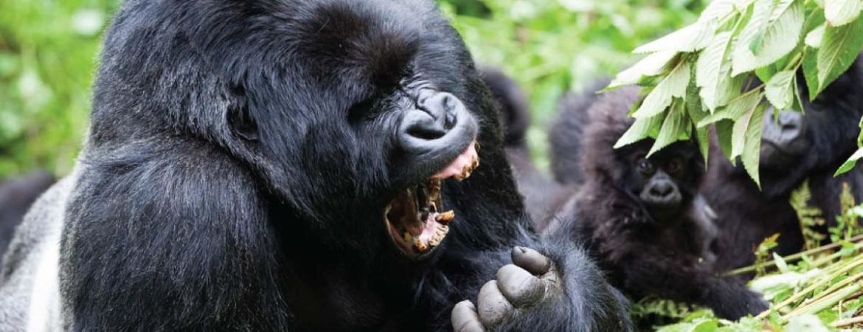 6 Days Gorilla & Chimpanzee Safari in Uganda
