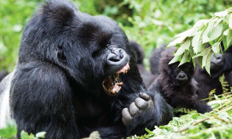 6 Days Gorilla & Chimpanzee Safari in Uganda