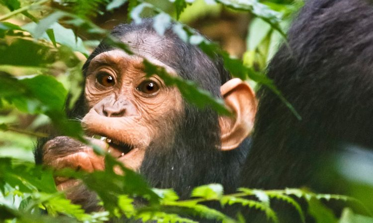 6 Days Uganda Primates & Wildlife Safari