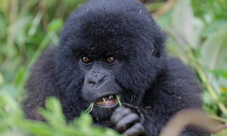 7 Days Rwanda Congo Primates Safari